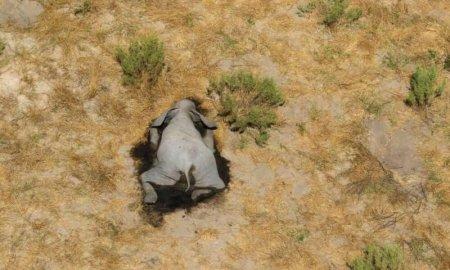 В Африке погибли сотни слонов
